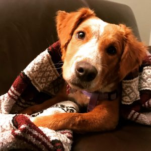 A cute dog wrapped in a blanket